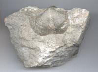 brachiopod-1.jpg