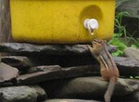 chipmunk-200×148.jpg