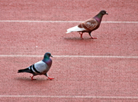 pigeon-200x148