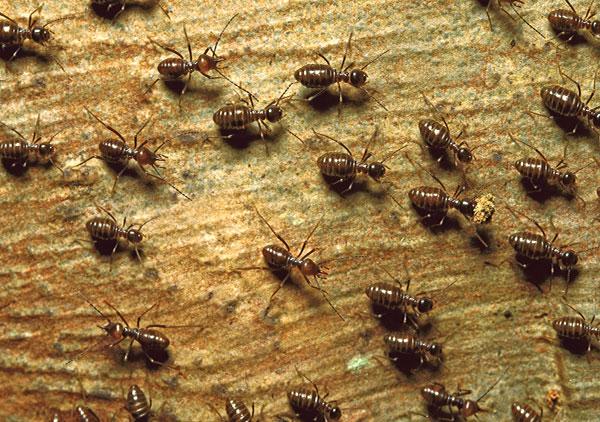 termites-001