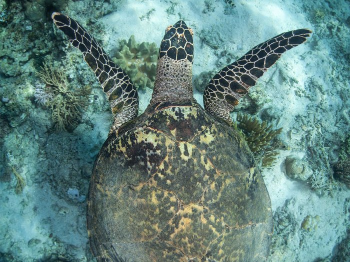 Hawk's Bill Sea Turtle