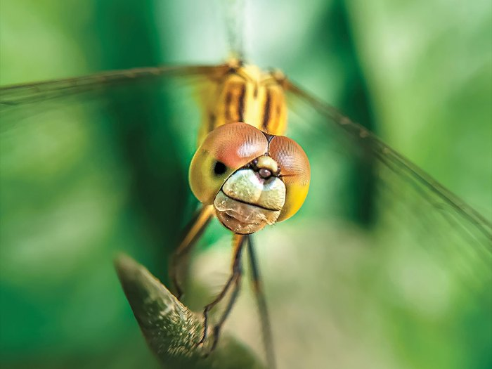 Dragonflies Are Incredibly Agile Fliers and Amazing Hunters